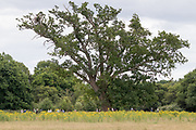 Visitors to the Knepp Estate observe white stork (Ciconia ciconia) nest in oak tree. West Sussex, UK.