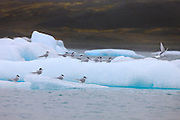 Several arctic terns (Sterna paradisaea) rest on icebergs floating in Iceland's Glacial Lagoon. Each year, it migrates farther than any other animal, summering in both the Arctic and in Antarctica.