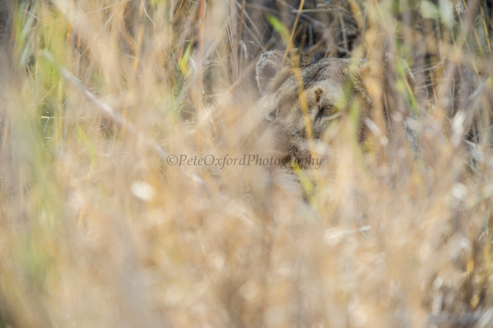 Lioness (Panthera leo)<br /> Marataba, a section of the Marakele National Park, Waterberg Biosphere Reserve<br /> Limpopo Province<br /> SOUTH AFRICA
