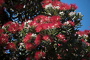 Fully flowering Pohutukawa in Auckland Tāwharanui Regional Park at spring time.