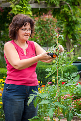 Stopping a pot grown tomato by removing the leading shoot to encourage better fruit formation.