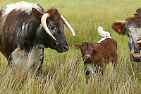 Longhorn cow with calf at Martin mere reserve