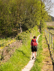 Woman hiking on narrow footpath through vineyard terraces, Baden-Wuerttemberg, Germany