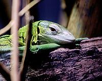 Green Tree Monitor at zsl London zoo photos by Brian Jordan