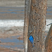 A Mountain Bluebird (Sialia currocoides) clings to a tree trunk next to its nest in a hole.