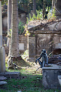 Langur monkeys amongst the tombs and graves in the French cemetery in Chandannagar, India