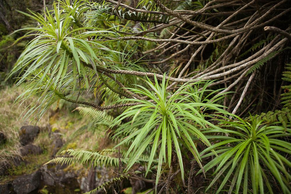 `opelu, Lobelia grayana, endemic to East Maui, TNC OGG, East Maui Watershed, Waikamoi, Bird Loop Trail, flora