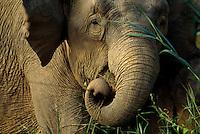 Borneo Pygmy Elephant (Elephas maximus borneensis) feeding.