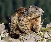 Marmots are large ground squirrels in the genus Marmota. This animal lives atop Alpe di Seceda, in the Geisler/Odle Group, above Ortisei, in South Tyrol, the Dolomites, Italy, Europe. The beautiful ski resort of Selva di Val Gardena (German: Wolkenstein in Gröden; Ladin: Sëlva Gherdëine) makes a great hiking base in the Trentino-Alto Adige/Südtirol (South Tyrol) region of Italy. For our favorite hike in the Dolomiti, start from Selva with the first morning bus to Ortisei, take the Seceda lift, admire great views up at the cross on the edge of Val di Funes (Villnöss), then walk 12 miles (2000 feet up, 5000 feet down) via the steep pass Furcela Forces De Sieles (Forcella Forces de Sielles) to beautiful Vallunga (trail #2 to 16), finishing where you started in Selva. The hike traverses the Geisler/Odle and Puez Groups from verdant pastures to alpine wonders, all preserved in a vast Nature Park: Parco Naturale Puez-Odle (German: Naturpark Puez-Geisler; Ladin: Parch Natural Pöz-Odles), including the deeply glaciated U-shaped valley of Vallunga (Langental). UNESCO honored the Dolomites as a natural World Heritage Site in 2009.
