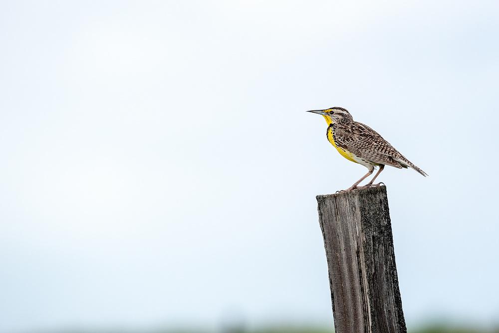 Meadowlark on a fencepost, Zumwalt Prairie, Oregon.