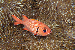 Robust Soldierfish, Myripristis robusta, Kimbe Bay, Papua New Guinea, Pacific Ocean