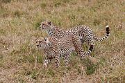 Two alert cheetahs (Acinonyx jubatus) prowling. Photographed in Tanzania