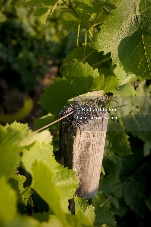 Old posts for young grapes growing on vines for white wines in Langlade, Charente-Maritime region, France.