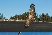 Immature bald eagle in flight in Alaska