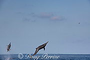 eastern spinner dolphin, Stenella longirostris orientalis, jumping, offshore from southern Costa Rica, Central America ( Eastern Pacific Ocean )