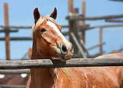 The Sombrero Ranch in Colorado has the country's largest herd of stable horses. Each year they round-up seven hundred horses from their winter pasture and drive them to the Sombrero Ranch in Craig, Colorado.