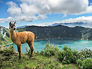 """A llama baby stands on the rim of Quilotoa. Quilotoa, a tourist site of growing popularity, is a scenic water-filled caldera that is the westernmost volcano in the Ecuadorian Andes. The 3 kilometers (2 mile) wide caldera (diameter about 9km) was formed by the collapse of this dacite volcano following a catastrophic VEI-6 eruption about 800 years ago, which produced pyroclastic flows and lahars that reached the Pacific Ocean, and spread an airborne deposit of volcanic ash throughout the northern Andes. The caldera has since accumulated a 250 meter (820 foot) deep crater lake, which has a greenish color from dissolved minerals. Fumaroles are found on the lake floor and hot springs occur on the eastern flank of the volcano. The route to the """"summit"""" (the small town of Quilotoa) is generally traveled by hired truck or bus from the town of Zumbahua 17 km to the South."""