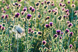 Backlit purple thistle, Great Trinity Forest, Dallas, Texas, USA