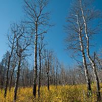 Dead and Living trees intersperse in a massive controlled forest fire burn near Banff National Park in Alberta Canada (the Upper North Saskatchewan Prescribed Burn.)