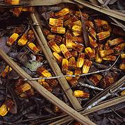 Pandanus Nuts<br /> Rainforest Floor<br /> FNQ