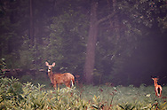 A Doe and Faun forraging at the edge of the forrest on a very foggy, late autumn day. There is a typical, old New England rock wall behind them.