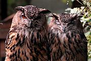 Avifauna, Europa's grootse vogelpark. / Avifauna - the largest bird sanctuary in Europe Op de foto / On the photo: Oehoe (bubo bubo) , Eurasian Eagle Owl
