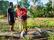 18 JUNE 2016 - DON KHONE, CHAMPASAK, LAOS:  A fishing family weighs their catch after bringing it to shore at Khon Pa Soi Waterfalls, on the east side of Don Khon. It's the smaller of the two waterfalls in Don Khon. Fishermen have constructed an elaborate system of rope bridges over the falls they use to get to the fish traps they set. Fishermen in the area are contending with lower yields and smaller fish, threatening their way of life. The Mekong River is one of the most biodiverse and productive rivers on Earth. It is a global hotspot for freshwater fishes: over 1,000 species have been recorded there, second only to the Amazon. The Mekong River is also the most productive inland fishery in the world. The total harvest of fish from the Mekong is approximately 2.5 million metric tons per year. By some estimates the harvest in the Tonle Sap (in Cambodia) had doubled from 1940 to 1995, but the number of people fishing the in the lake has quadrupled, so the harvest per person is cut in half. There is evidence of over fishing in the Mekong - populations of large fish have shrunk and fishermen are bringing in smaller and smaller fish.        PHOTO BY JACK KURTZ
