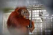 Kato, a large male orang-utan sits in quarantine cage awaiting his imminent reintroduction to the wild, in Nyaru Menteng Rehabilitation Centre, run by the Borneo Orangutan Survival Foundation, in Central Kalimantan, Borneo, Indonesia on 22nd May 2017. Kato was rescued in 2003 after being kept illegally as a pet. He has undergone a long rehabiliation process that includes living on a pre-release island where orang-utans learn how to survive in the wild. The centre houses around 450 rescued orangutans who have been displaced from their habitats by human activity. Many of them will be reintroduced into the wild, but some animals have illnesses or injuries that means they have to remain in the sanctuary indefinitely.