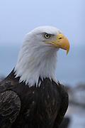 Bald Eagle, Haliaeetus leucocephalus, portrait, Kenai Peninsula, Homer Spit, Homer, Alaska. Digital original, #2006_0367 ©Robin Brandt