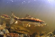 Longnose Sucker, Underwater
