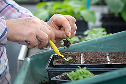 Pricking out foxglove seedlings into a module tray using a dibber