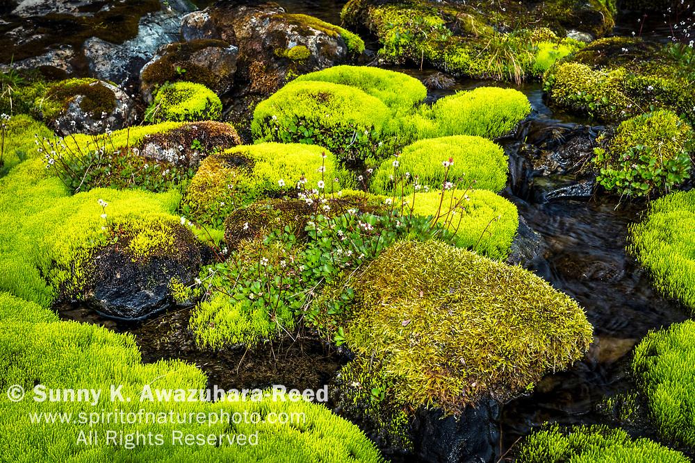 Large Flowered Wintergreen flowers on mossy rocks, Hidden Creek, Chugach State Park, Southcentral Alaska, Summer.