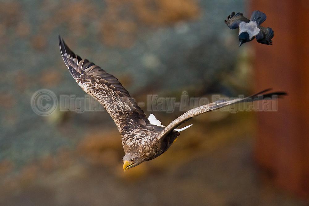Crow chasing White-taled Eagle | Kråke som jager Havørn