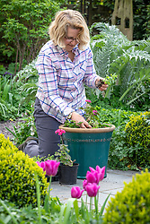 Planting up a summer flowering patio container with bedding plants - pelargoniums