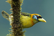 Red-Headed Barbet (Eubucco bourcierii)<br /> Mashpi Rainforest Biodiversity Reserve<br /> Pichincha<br /> Ecuador<br /> South America