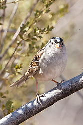 White-crowned sparrow (Zonotrichia leucophrys), Bosque del Apache National Wildlife Refuge, New Mexico, USA