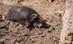 THEMENBILD - ein Wollschwein (Mangalica-Schwein) liegt in der Erde in der Sonne, aufgenommen am 07. März 2019 in Aurach, Oesterreich // a wool pig (Mangalica pig) lies in the earth in the sun, Austria on 2019/03/07. EXPA Pictures © 2019, PhotoCredit: EXPA/Stefanie Oberhauser