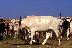 branded white longhorn in a herd
