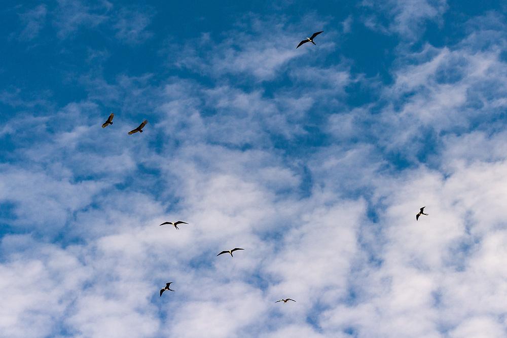 Albatrosses, March,  skies above the Sea of Cortez, Baja, Mexico