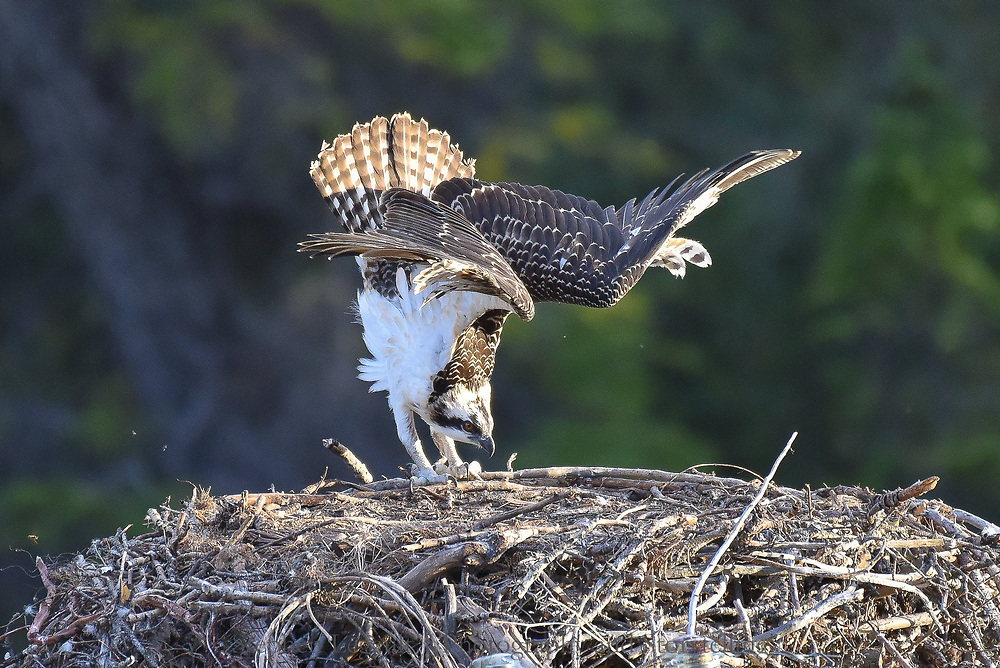 Bird Yoga 1, Osprey, Bow Valley, Alberta