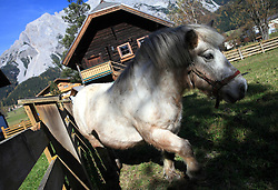 Horse at Dachstein, Ramsau, Austria, on October 22, 2008. (Photo by Vid Ponikvar / Sportida).