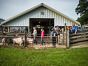 26 JUNE 2019 - CENTRAL CITY, IOWA: Swine check in at the Linn County Fair. Summer is county fair season in Iowa. Most of Iowa's 99 counties host their county fairs before the Iowa State Fair, August 8-18 this year. The Linn County Fair runs June 26 - 30. The first county fair in Linn County was in 1855. The fair provides opportunities for 4-H members, FFA members and the youth of Linn County to showcase their accomplishments and talents and provide activities, entertainment and learning opportunities to the diverse citizens of Linn County and guests.       <br /> PHOTO BY JACK KURTZ