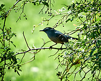 Gray Headed Catbird. Image taken with a Nikon N1V1 camera, FT1 adapter, and 70-200 mm f/2.8 VRII lens