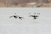 Greater scaup (bluebills) in flight