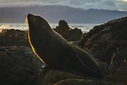 Sunbathing New Zealand fur seal (Arctocephalus forsteri) at Te Kopahou Reserve, Wellington, Kāpiti Coast, New Zealand Ⓒ Davis Ulands   davisulands.com