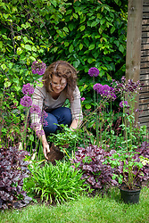 Filling gaps in a border by planting out pot grown aquilegias