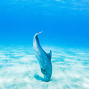 """Bottlenose dolphins (Tursiops truncatus) use echo-location to find prey hiding just under the sand, a technique called """"crater feeding"""" -  Eleuthera, Bahamas."""