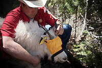 Kyle Lash holds the sedated mountain goat as samples are gathered.