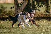 Bently, Saluki Collie cross running in the park with Blue, the small Terier cross