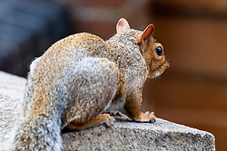 A Grey Squirrel (Scientific name Sciurus Carolinensison) sits with his back to camera during a brief visit to a small Sheffield suburban garden.<br /> <br /> 20 August 2021<br /> <br /> www.pauldaviddrabble.co.uk<br /> All Images Copyright Paul David Drabble - <br /> All rights Reserved - <br /> Moral Rights Asserted -